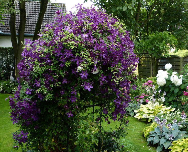 clematis viticella polish 1200 968 garden and outdoor pinterest polish. Black Bedroom Furniture Sets. Home Design Ideas