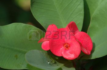 spurge plant: Christ thorn (Euphorbia milii) flower close-up with green leaves Stock Photo