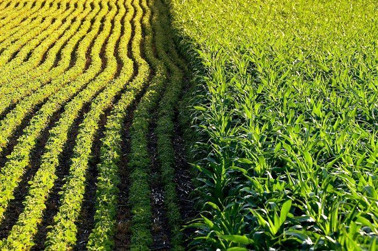 Aumenta el uso de herbicidas en cultivos transgénicos