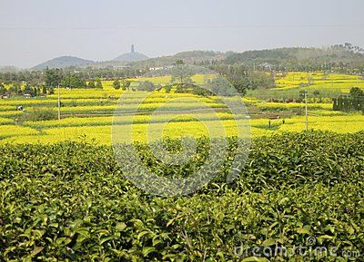 The tea fields and rapeseed flower fields south of Nanjing in spring...  This photo can be purchased from: http://www.dreamstime.com/stock-images-yellow-rapeseed-flower-field-full-flowers-image40833074