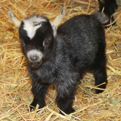 african pygmy goats for sale - Google Search