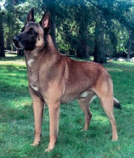 Belgian Malinois  This is not my Brownie, but sure looks like my very first dog. Dad brought him back from WW2.
