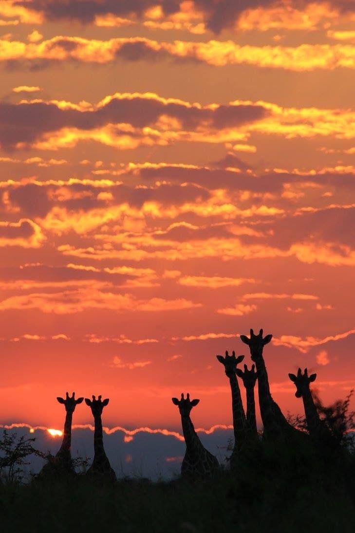 Beautiful silhouetted giraffes at sunset.