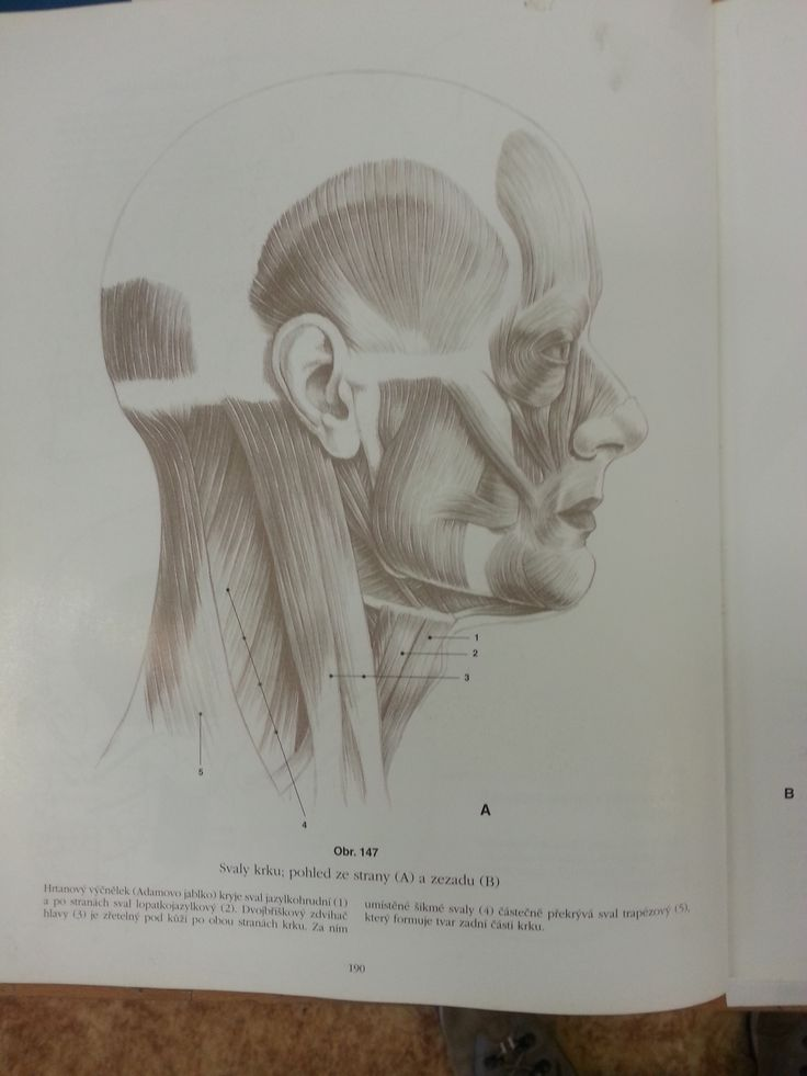 hlava - svaly