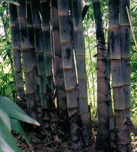 Dendrocalamus asper bambou géant noir graines