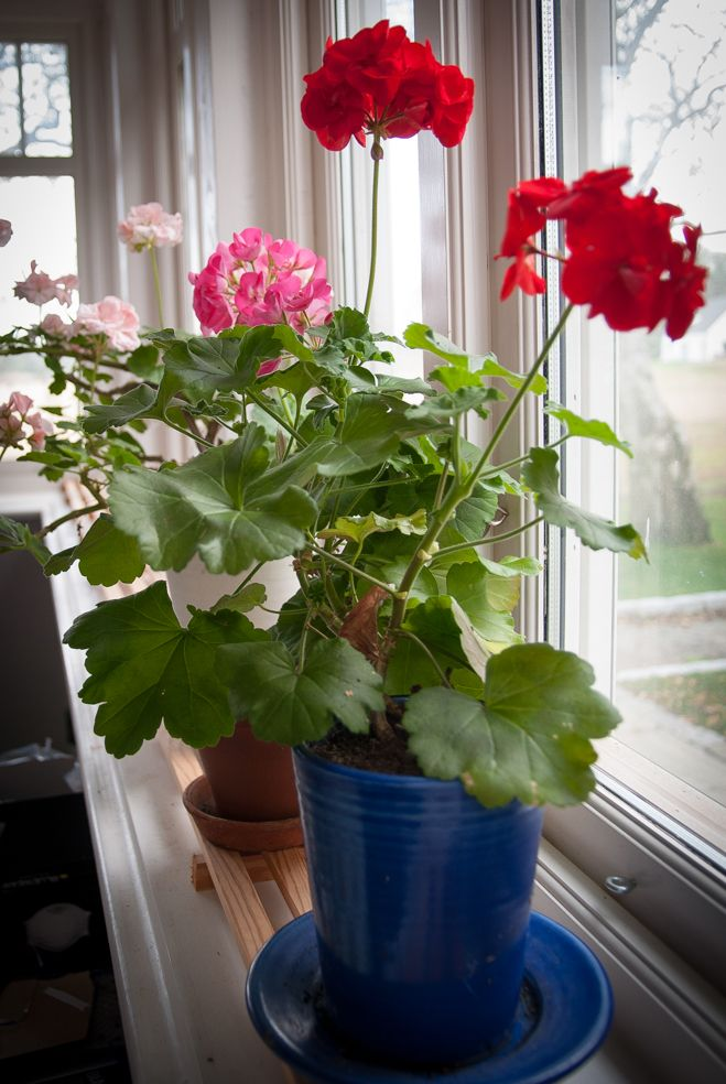 The geranium has moved into the house, because of the chilly nights but is still beautiful.