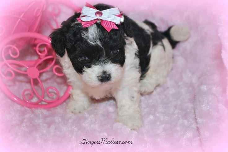 puppies | Maltipoo Puppies For Sale near Raleigh NC. Maltepoo Puppies ...