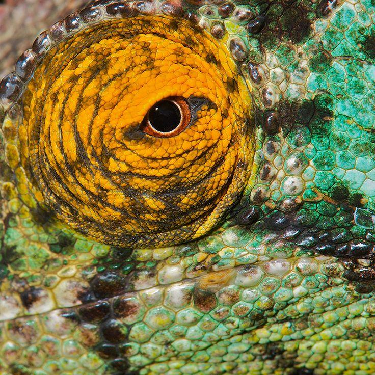 Chameleon Eye by Sean CraneAnimal Haiku, Chameleons Eye, Animal Kingdom, Animal Eye, Animals Pets Birds Bugs Fish, Mothers Nature, Animal Beautiful, Textures Colors, Sean Cranes