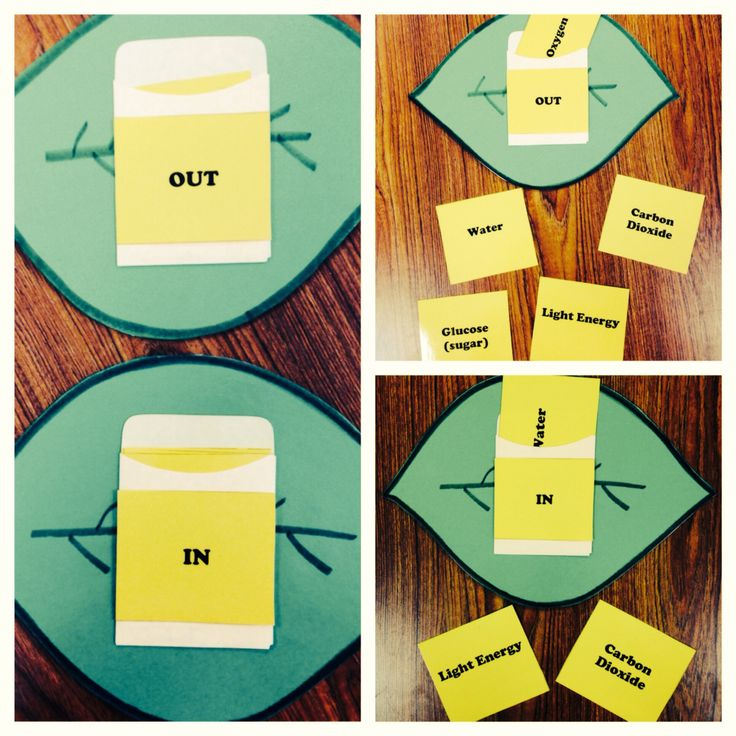 """Photosynthesis Activity: Leaf with """"in"""" and """"out"""" envelopes on front and back. Students sort the cards into the correct envelope. Water, sunlight and carbon dioxide go IN to the leaves while sugar and oxygen are products of photosynthesis so they go OUT."""