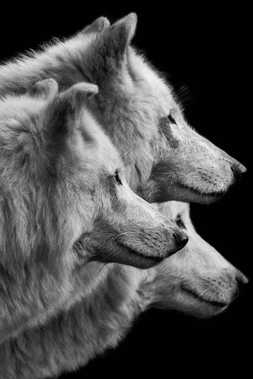 Three Wolves © Wolf Ademeit