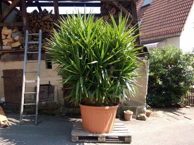 yucca palme rie ig gro ideen rund ums haus pinterest. Black Bedroom Furniture Sets. Home Design Ideas