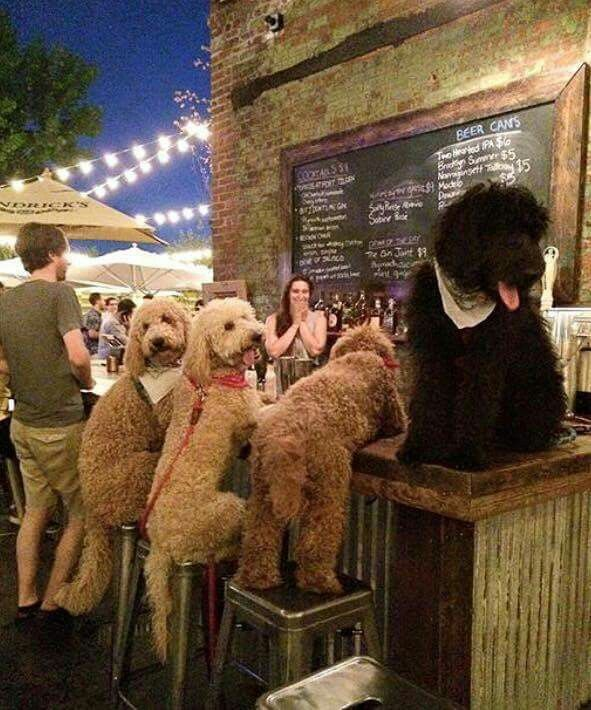 Labradoodles having a quiet drink.