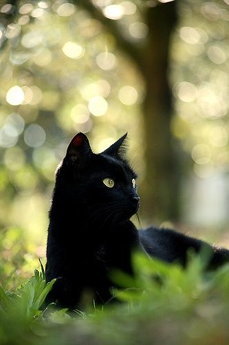 Gatos Negros Beautiful black cat. You can not miss a black cat in the grass unless it is dark outside.