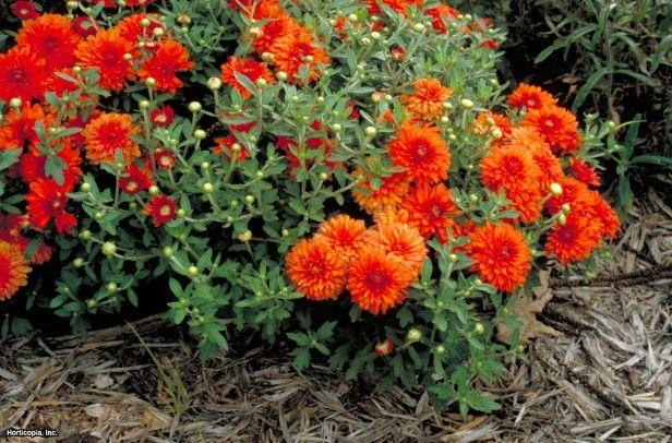 Florist's Chrysanthemum (Dendranthema x grandiflorum 'Minnautumn')