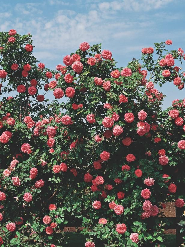 Climbing Rose America A Spicy Clove Perfume Fills The Air When America Opens Its Pink And Salmon Coral Blooms Th