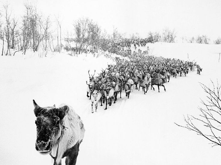 """Ahead of the Herd....  Photograph by Alexander Stepanenko, National Geographic Your Shot """"This picture was taken on black-and-white film in April 1996 near Murmansk."""" Stepanenko explains that herders were attempting to drive the reindeer into a corral. He captured this shot while riding on a sledge that was leading the reindeer in the foreground."""""""