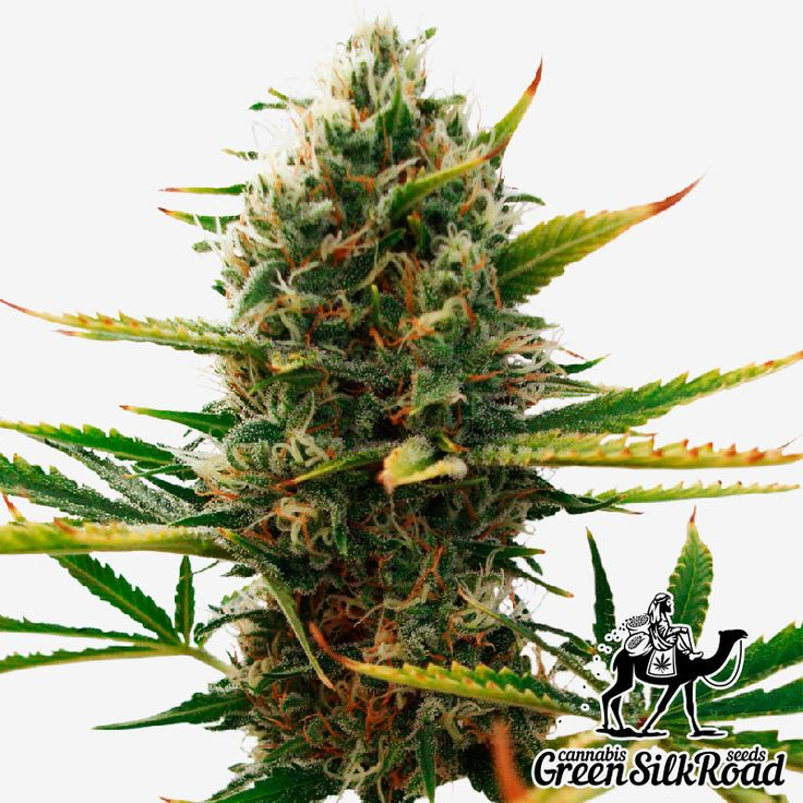 Super Skunk Feminised is the most famous representative of skunk strains. This hybrid is beloved and renowned for its rapid growth, classic aroma and high productivity allowing you to collect up to 500 g of quality crop per 1 m. The domination of indica genes provided the ability to rapidly generate a huge amount of resin with a high THC content (reaching 20%). Its bushes are very compact, and reach a height of up to 120 cm