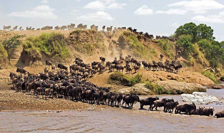 [ The Great #Serengeti Migration, #Tanzania ]    #wildbeests #Africa #Nature #amazing #travel
