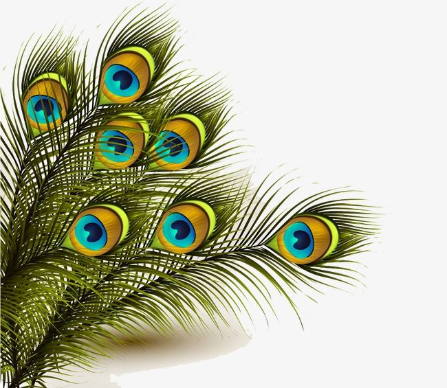 The Best Peacock Feather Vector