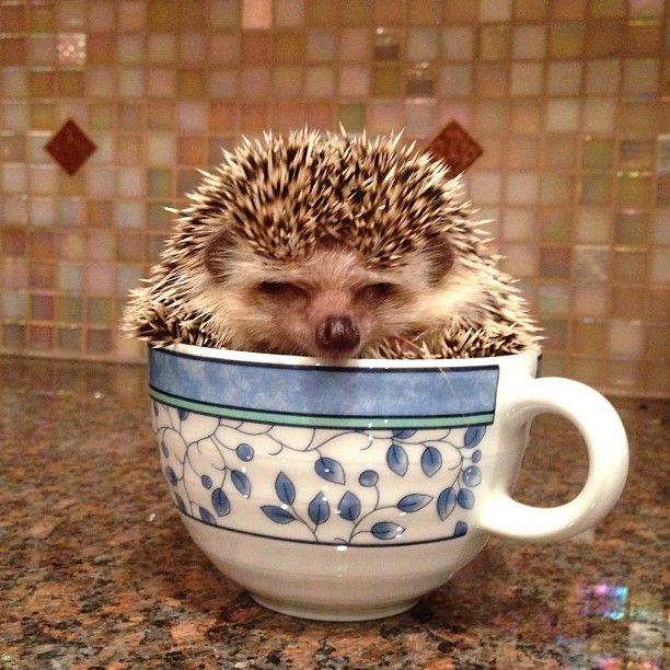 Baby hedgehog in a teacup