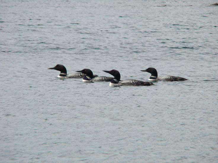 5 loons in the bay, wow! pinned by girlfriendgetaway.ca