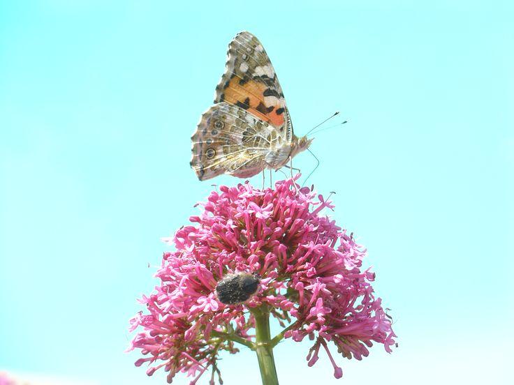 Un petit air de vacances en ce début de printemps : les papillons commencent à butiner. #spring #butterfly
