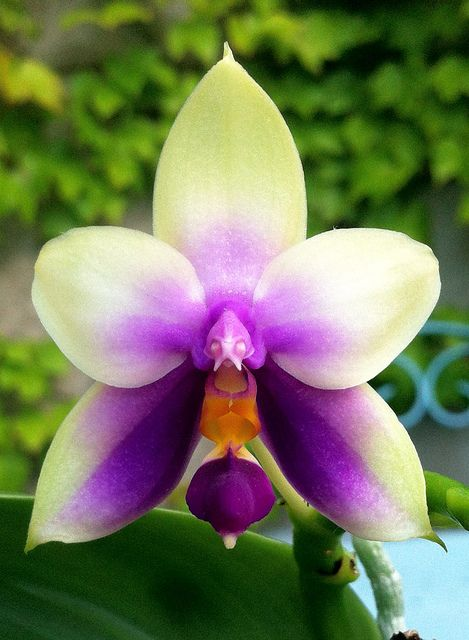 Phalaenospis bellina 'Blue' -- amazing how orchids can mimic insects and other…