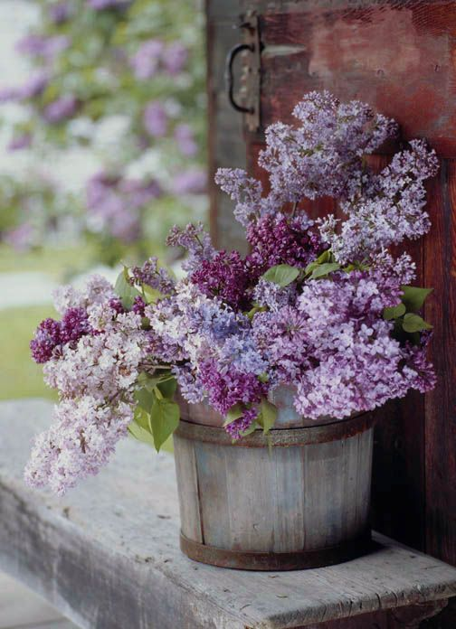 Wood or metal pails make perfect containers for armfuls of lilacs.  Tip:  Cut lilacs early in the morning, split the woody ends so they will absorb the water faster.