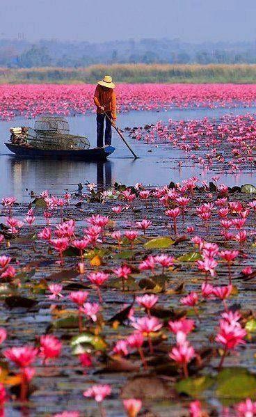 Mar de lotos rojos, Udonthani, Tailandia