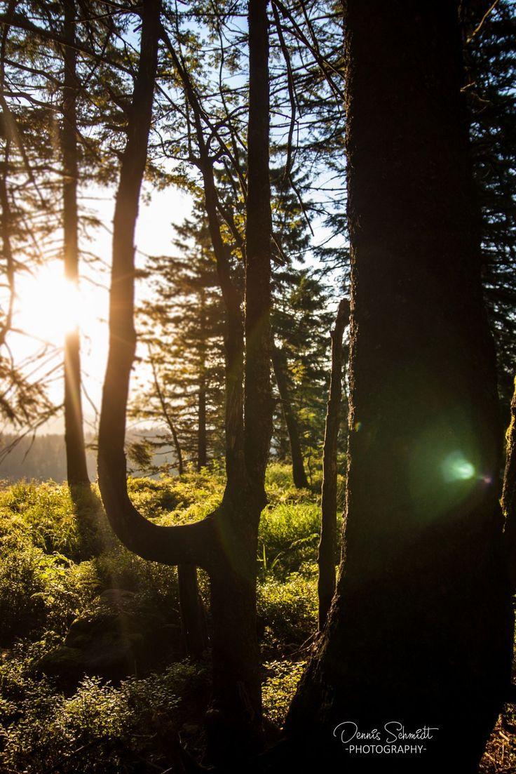 Lichtstrahlen durch einen Wald fotografiert von Dennis Schmidt