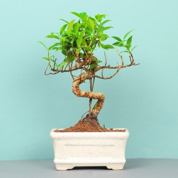 Template Best Plants Plants Bonsai Trees For Sale Trees To Plant