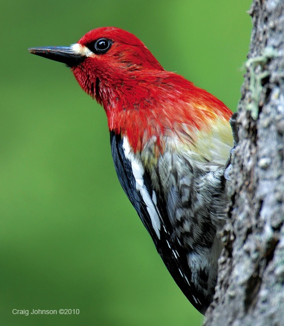 31 best images about Birds of Southern California on ...
