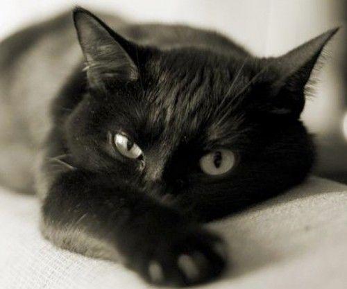 Resultado de imagem para Bombaim (gato)