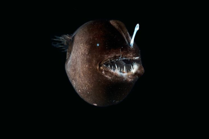 A deep-sea anglerfish caught during the current MAR-ECO cruise.
