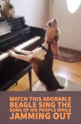 #beagle #singing #dog #hilarious #funny #pets