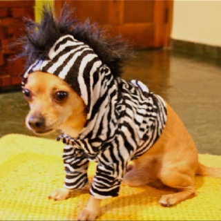 Chihuahua... this looks like my Littles<3