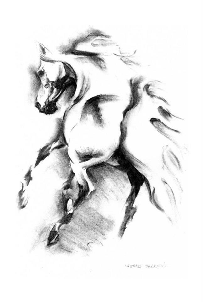 nenadj:  Arabian horse, charcoal drawing, 29 x 42 cm