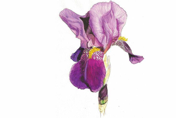 By Line Holtegaard (Iris Germanica)