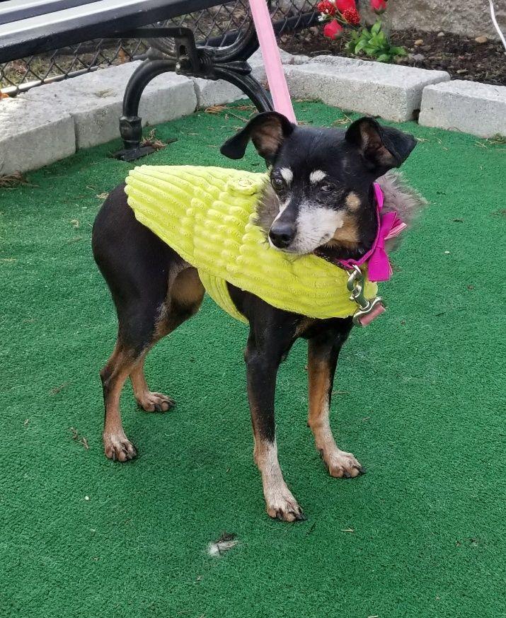 Miniature Pinscher Dog For Adoption In Perth Amboy Nj Adn 773353
