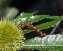 Καστανιά Castanea sativa