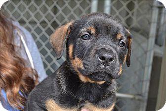 Paris, KY - Boxer/Mastiff Mix. Meet Brunner, a puppy for adoption. http://www.adoptapet.com/pet/17845670-paris-kentucky-boxer-mix