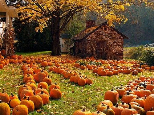 Pumpkins on the farm.../