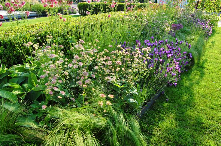 """Nassella tenuissima (pony tail grass), Astrantia """"Pink Pride"""", Lavandula Stoeches( french lavender), Aquilegia double pink planted along side of Buxus sempervirens clipped hedging"""