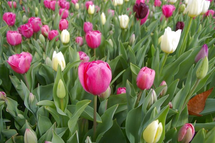 Tulips! They are planted so densely during the Flower and Garden Festival that you can't tiptoe through them, but you can get some great photographs! #nannuprealestate #naturallynannup