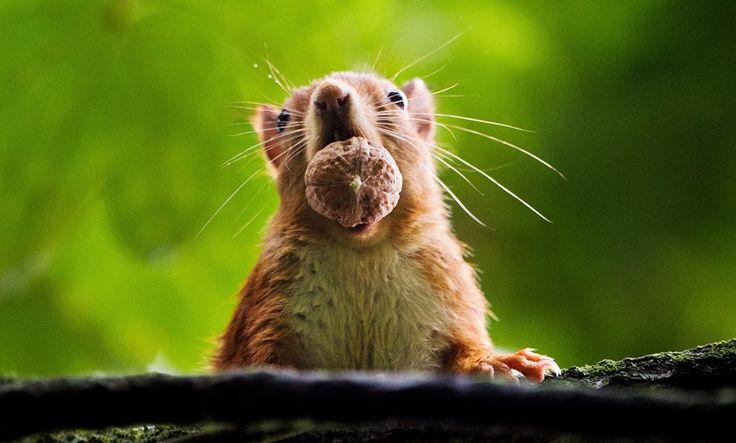 Um esquilo-vermelho segura uma noz em sua boca em um jardim em Hannover, na Alemanha - http://epoca.globo.com/tempo/fotos/2013/09/fotos-do-dia-25-de-setembro-de-2013.html (Foto: AP Photo/dpa,Julian Stratenschulte)