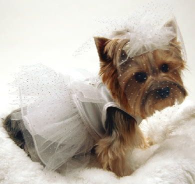 "beautiful yorkie... FYI No such thing as a ""teacup"" that is a I want lots of money term."