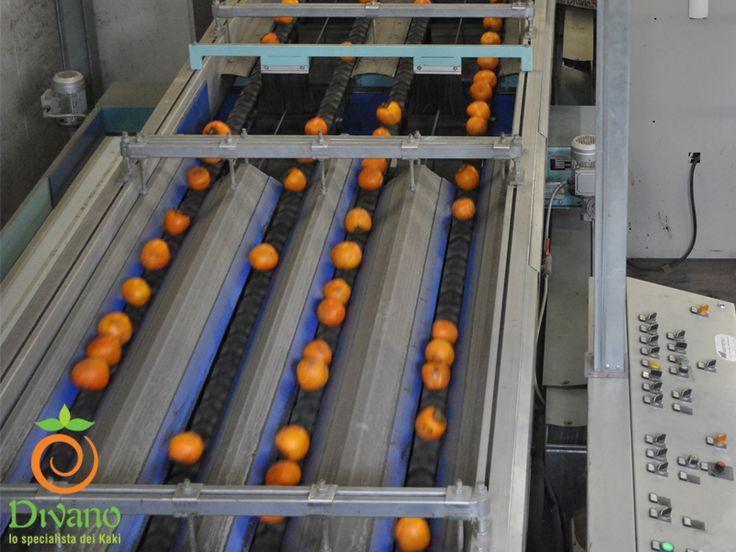 La nostra macchina per la calibrazione kaki in funzione. #kakidivano #soledautunno  Info: www.divanosrl.it
