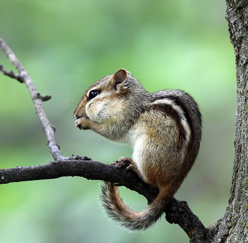 161 Best Chipmunk Squirrels Images On Pinterest