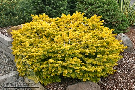 During the winter months, Abies nordmanniana 'Golden Spreader' turns on the power and seems to generate its own light.
