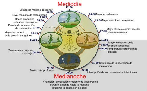 El reloj circadiano influye en muchos de los procesos fisiológicos del cuerpo humano. Crédito: Wikimedia Commons